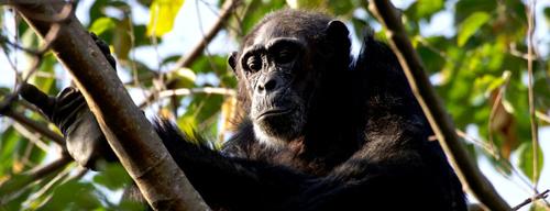 Når vores indre chimpanse går på nettet?